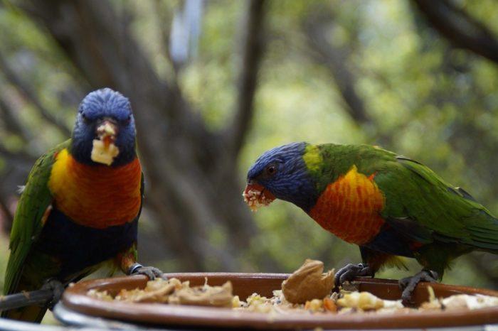 Чем кормить попугаев лори