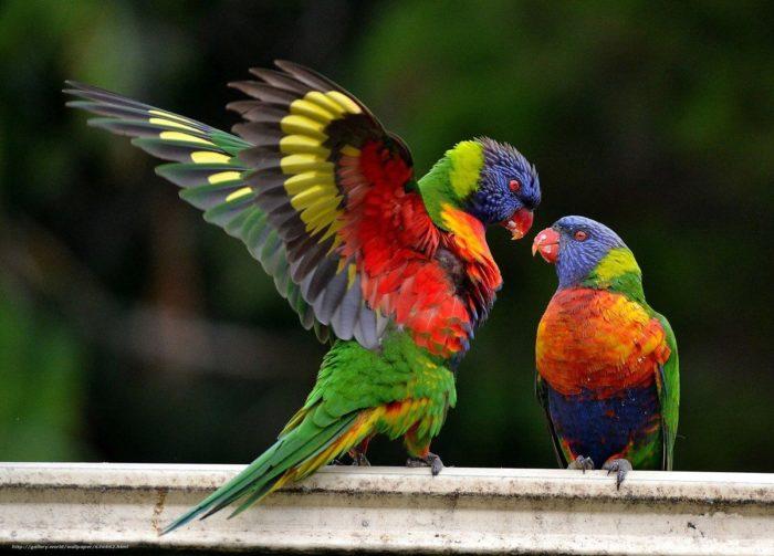 Брачный период у попугая лори
