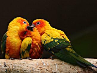 Семейство попугаев аратинга