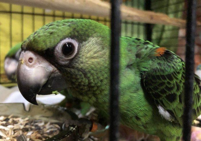 Чем кормить попугая Джардина