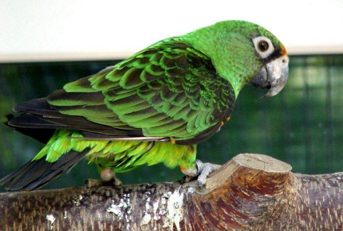 Внешний вид попугая