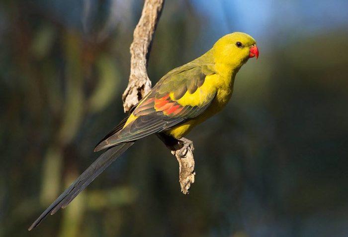 Красивый горный попугайчик