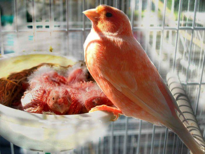 Канарейка сидит на гнезде