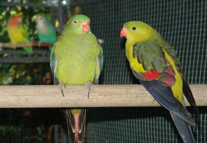 Содержание горных попугаев