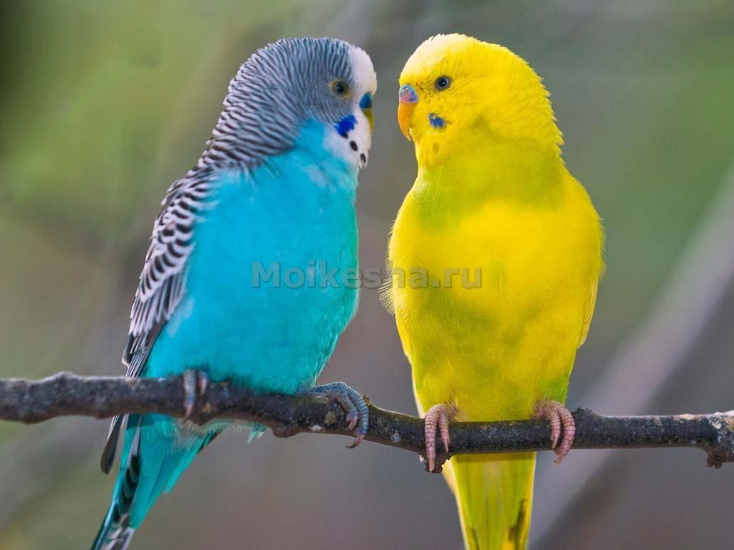 окраска волнистого попугая