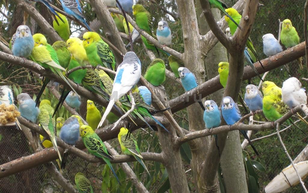 Звуки Волнистых Попугаев