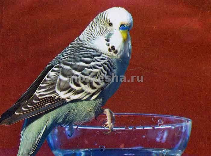 адаптация волнистого попугая дома