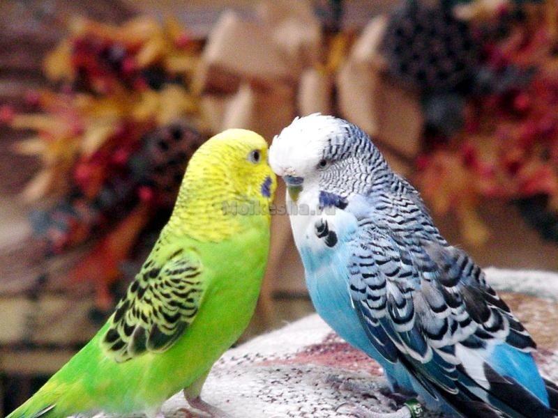 Как выбрать попугайчика