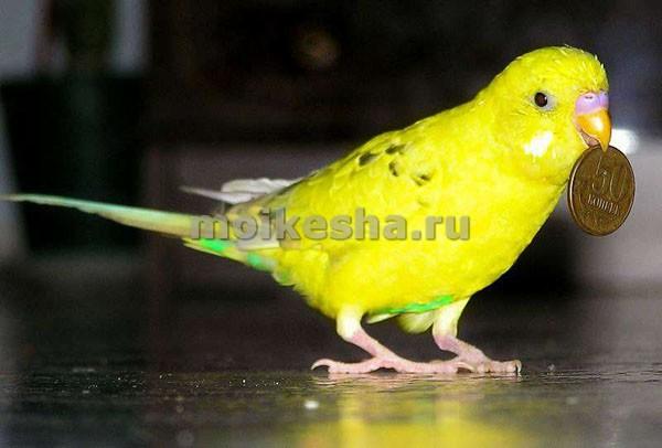 волнистые домашние попугаи