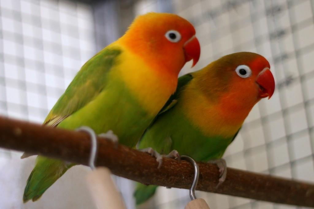 попугайчики неразлучники фото