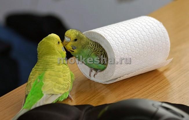 как заставить волнистых попугаев спариваться