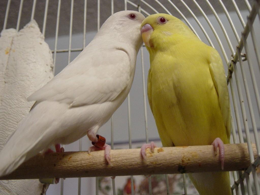 волнистый попугай альбинос и лютинос