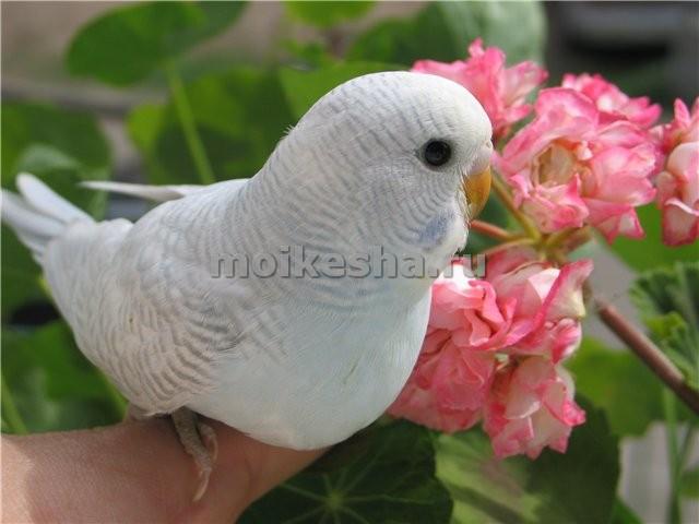 волнистый попугай срок жизни