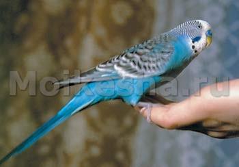 Как выбрать говорящего волнистого попугая