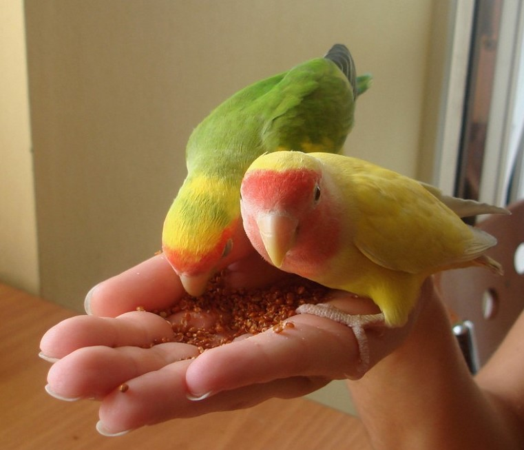 Птички неразлучники фото
