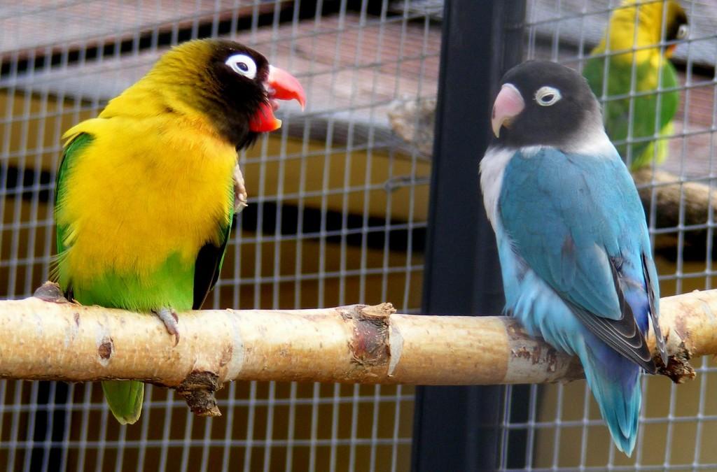 птицы неразлучники фото