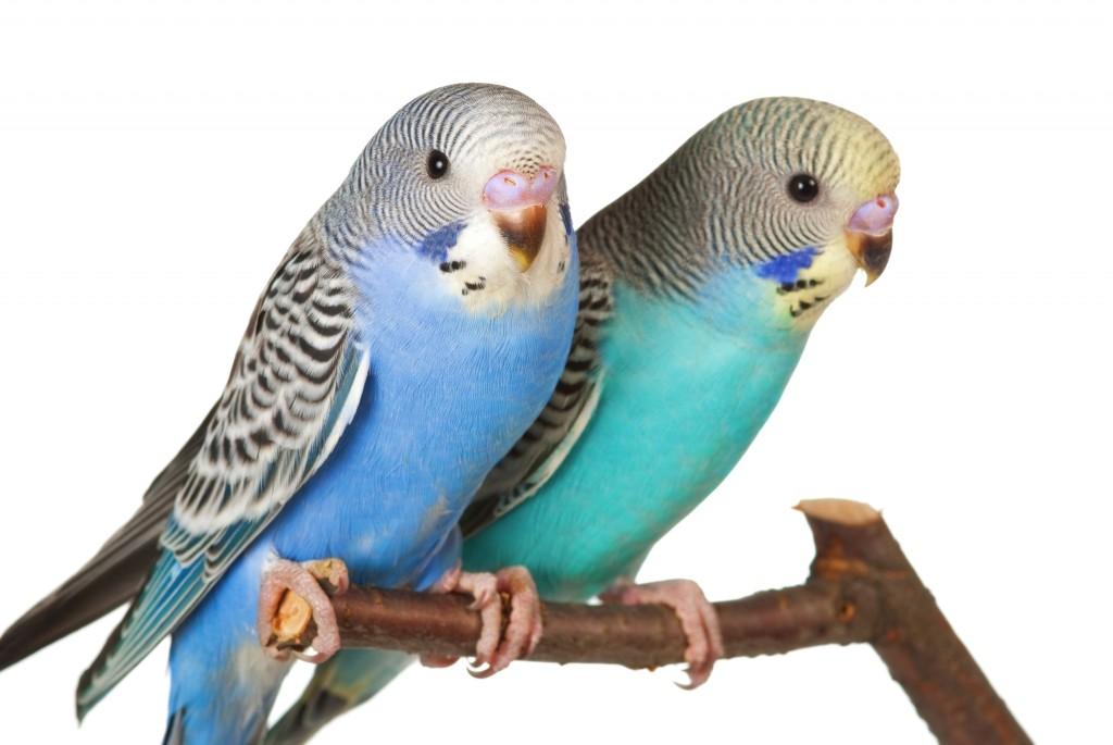 птенцы волнистого попугая сидят на ветке