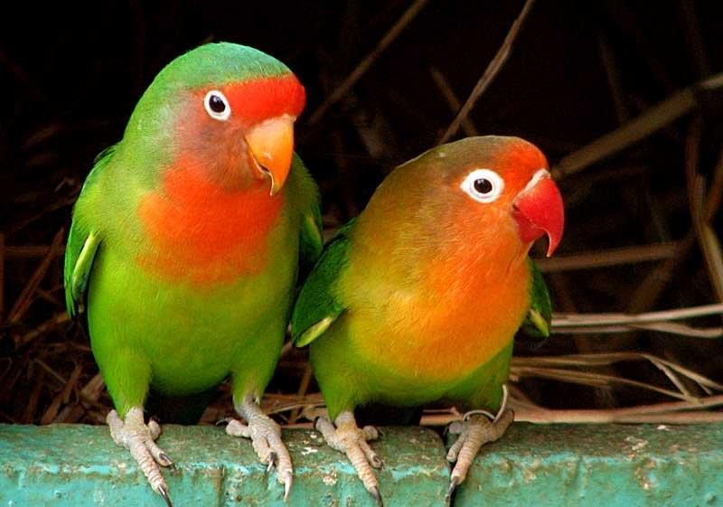 краснощекий неразлучник попугай фото
