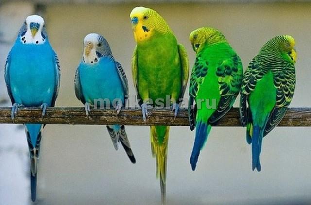 любимое лакомство волнистых попугаев