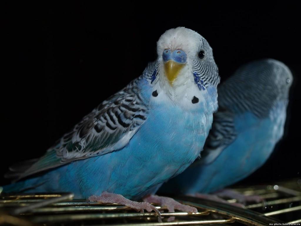 волнистый попугай сидит на клетке