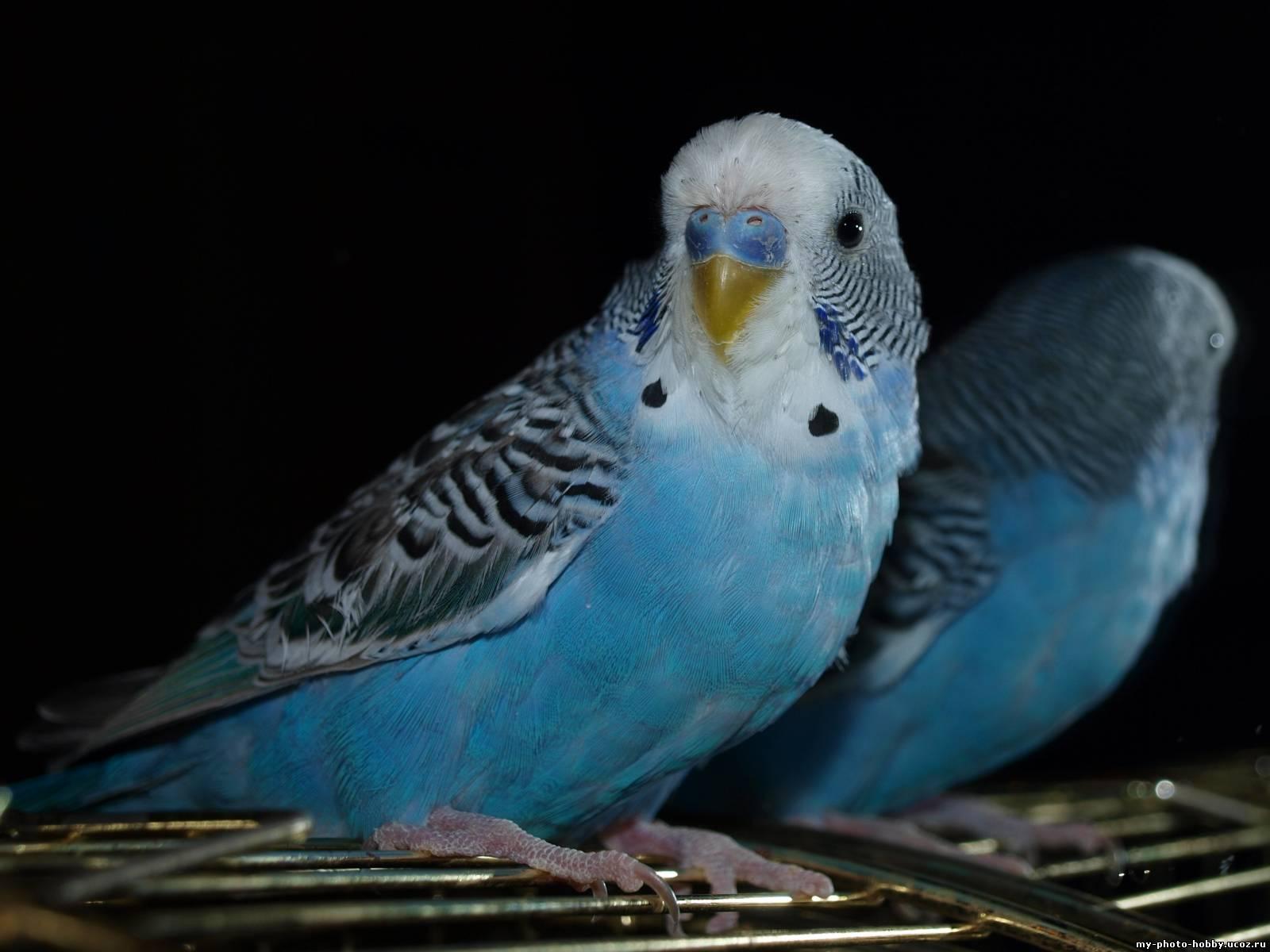 Попугай к чему снится во сне Если видишь во сне Попугай