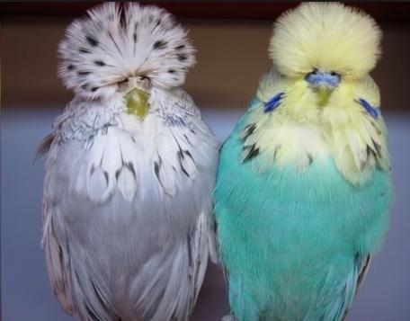 волнистый попугай выставочный
