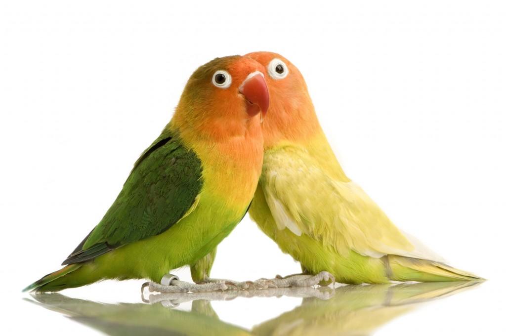 попугаи неразлучники фишера