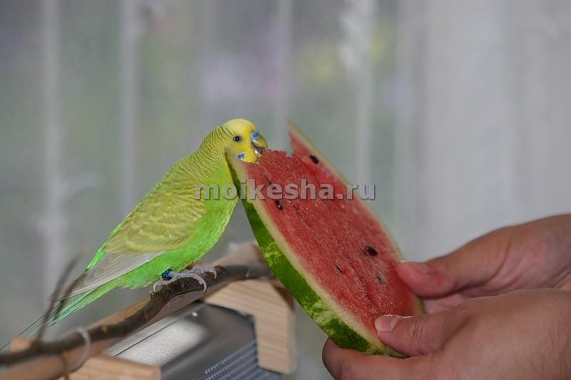 Чем питается волнистый попугай