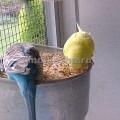 волнистый попугай рацион питания