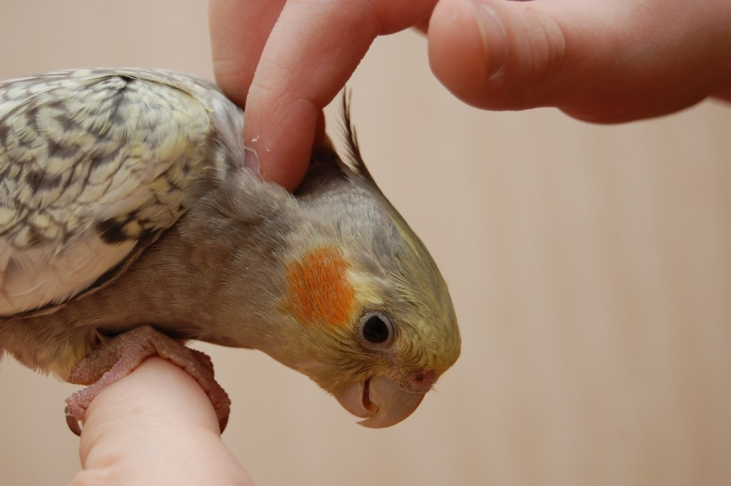 попугай корелла у человека на руке