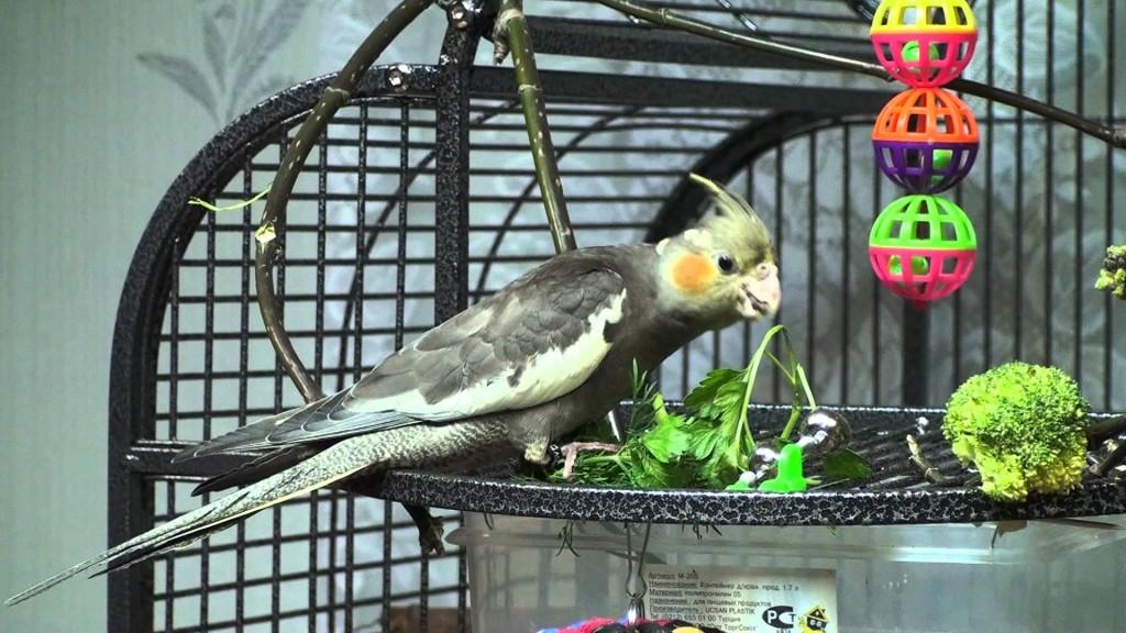 попугай корелла кушает зелень