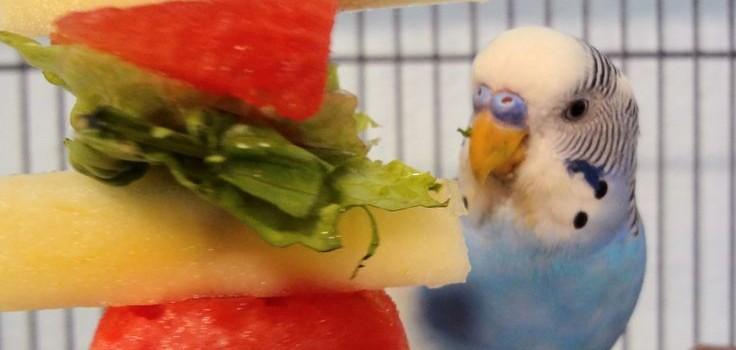 что ест волнистый попугай