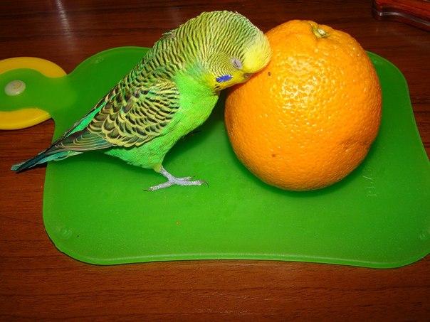 волнистый попугай и апельсин