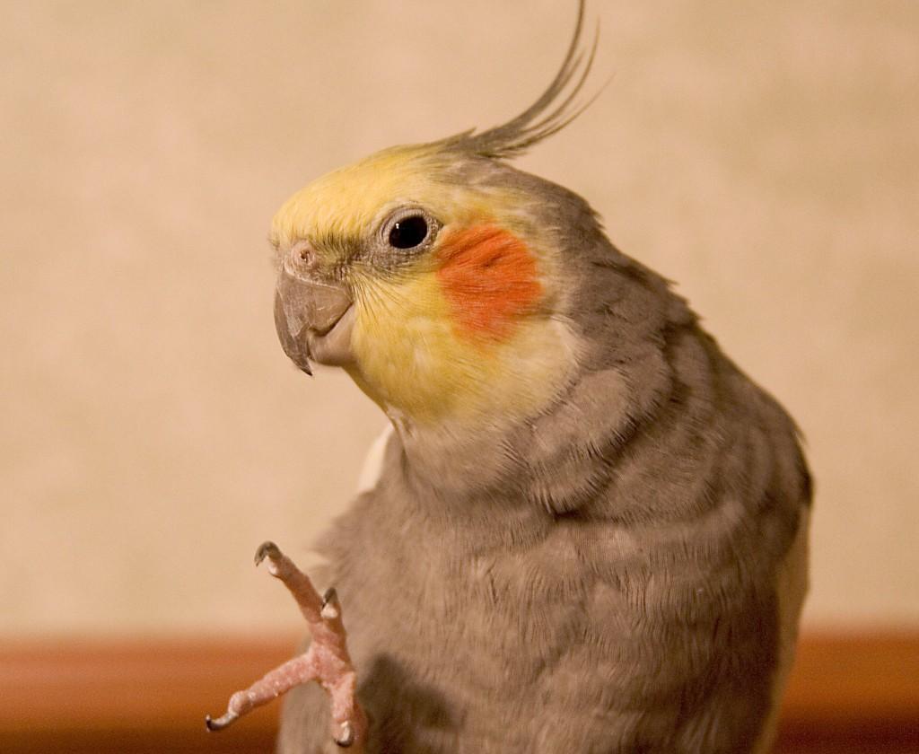 чем кормить попугая кореллу