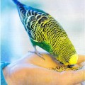 волнистые попугаи как приручить