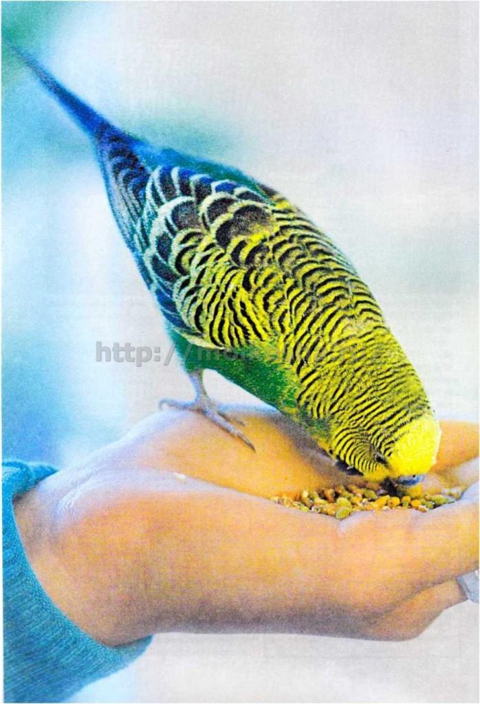приручение волнистых попугаев к рукам