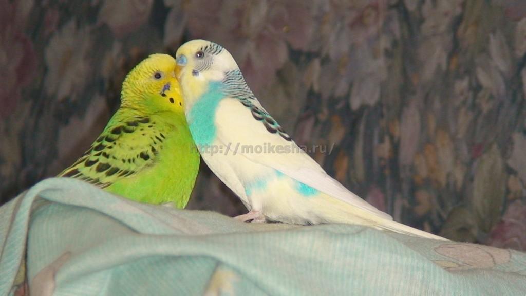 волнистый попугай уход и кормление