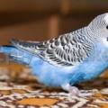 волнистый попугай уход