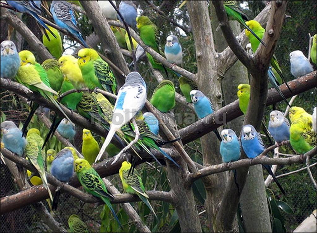 развод волнистых попугаев