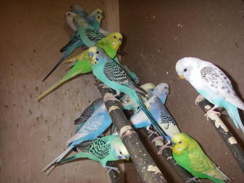 разведение волнистых попугаев в вольерах