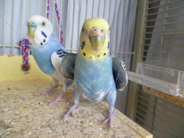 волнистый попугай мальчик и девочка