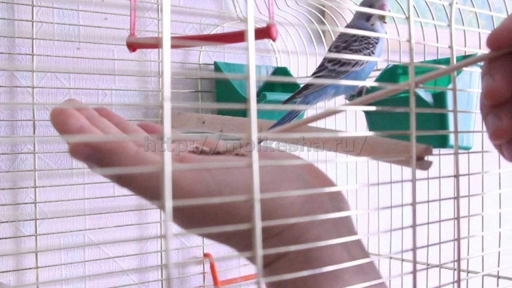 как правильно приручить волнистого попугая