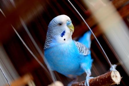 Волнистый попугай катается на качелях