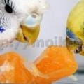 что едят попугаи волнистые