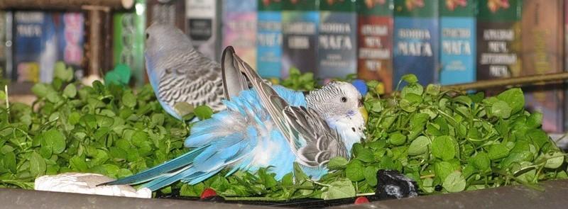 волнистый попугай ест зелень
