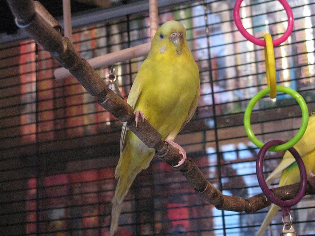 волнистый попугай желтый сидит на ветке
