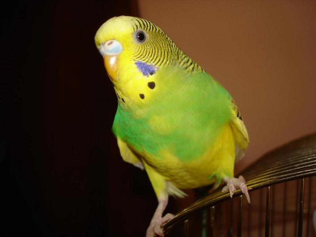 попугай волнистый сидит на клетке
