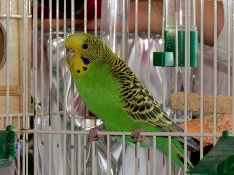 Девочка волнистый попугай