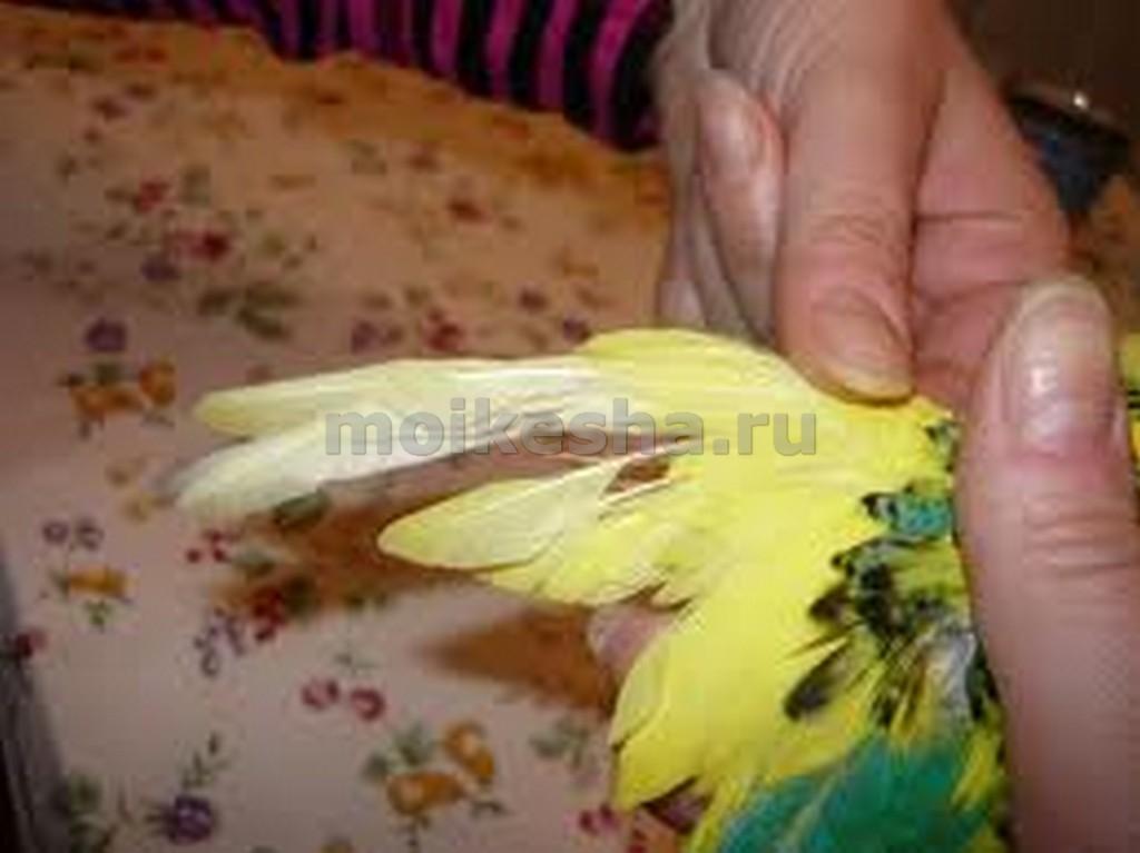 почему линяет волнистый попугай