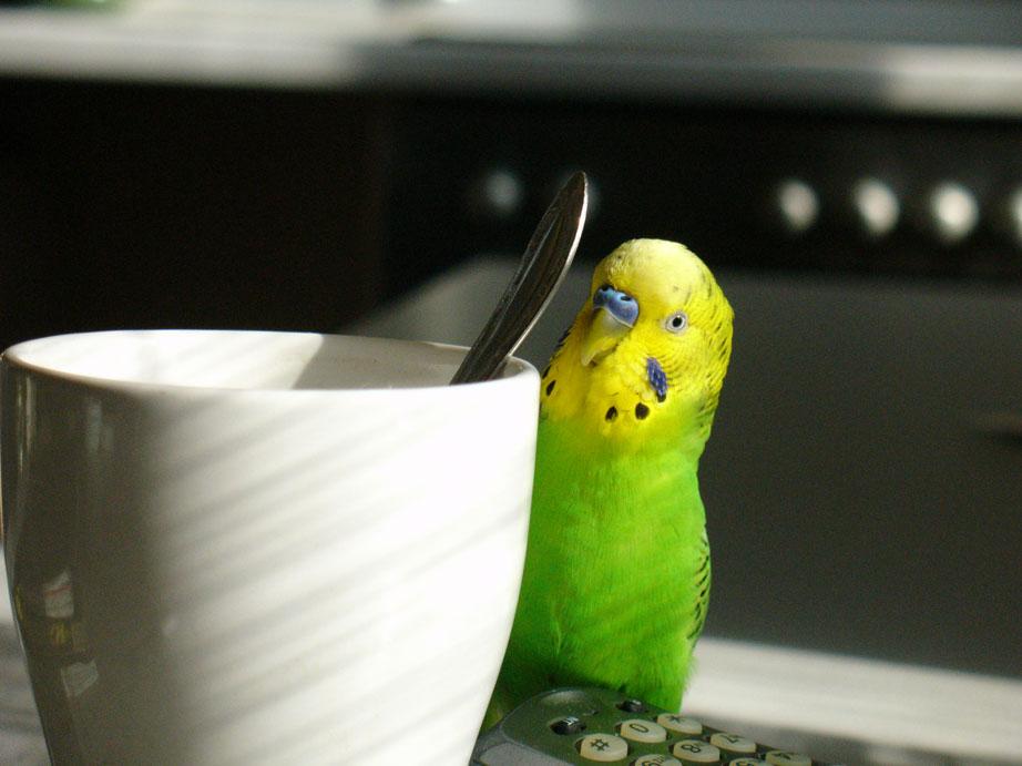 Любопытный волнистый попугай
